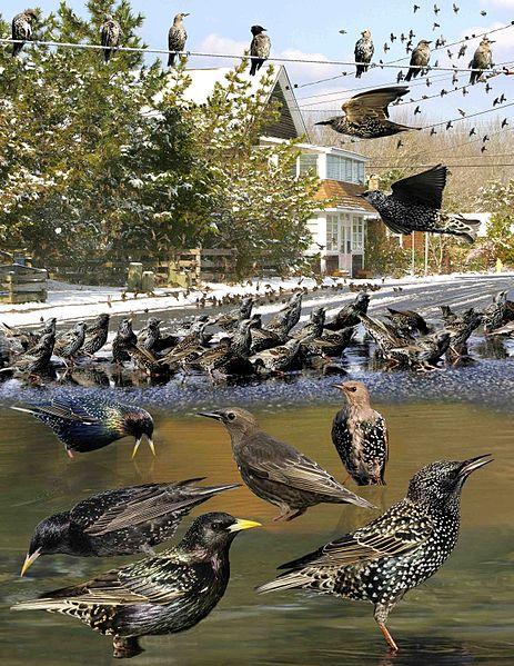 European starlings. Image by Richard Crossley.